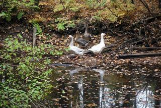 Two white ducks and two brown ducks standing beside a pool of water in the woods